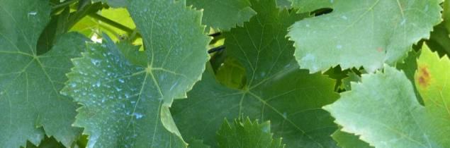Viticulture oenologie viticulture l efsa pr conise une limitation 4 kg ha an - Traitement de la vigne ...
