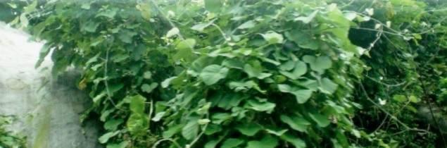 Vigoureuse dans une canopée forestière tropicale», la vigne laineuse présente «des feuilles cordiformes et des reflets blanchâtres» précise l'ampélographe, sur les clichés ramenés du Vietnam.