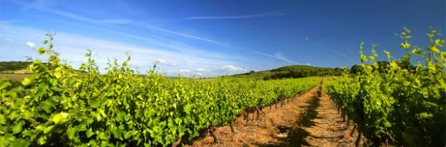 Le vignoble du Languedoc structure son offre de vin IGP.