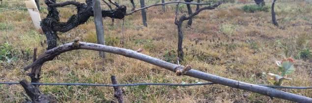 La vigne a démarré précocement. Les viticulteurs craignent le risque de gel