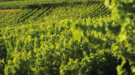 Vers un transfert de parts sociales viticoles avisé par les SAFER et interprofessions