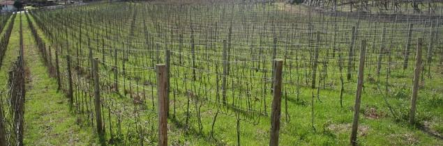 4700 hectares d'autorisations de plantation de vignes devraient être attribués en 2017.