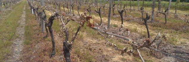 Vigne touchées par le gel