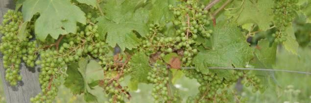 La coulure a été plus ou moins importante selon les secteurs et les vignobles gelés
