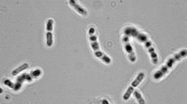 Des bact�ries plus fortes que les champignons