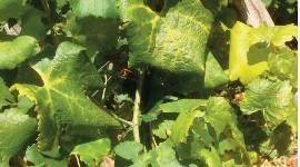 Les bilans flavescence dorée dans les différents vignobles