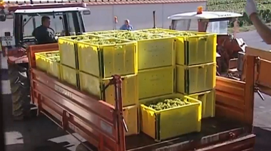 Champagne : les rendements 2015 fixés à 10 500 kg/ha