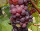 Mill�sime 2015 : la v�raison se g�n�ralise progressivement � l'ensemble des vignobles fran�ais