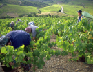 Mill�sime 2015 : un d�but de vendanges pr�coce en H�rault