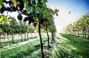 Satisfecit : 2015, millésime record pour les vins anglais