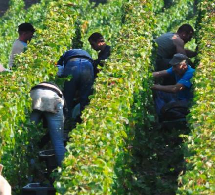 Champagne : le poids économique et social des vendanges