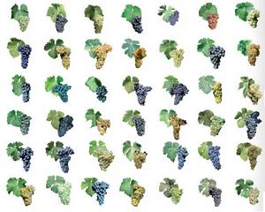 Viticulture : l'OIV recense 5 916 variétés de vignes