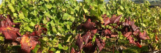 Viticulture oenologie viticulture la propagation de - Chambre agriculture languedoc roussillon ...
