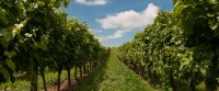 Réduction des intrants phytosanitaires en viticulture : quels méthodes et outils innovants ?