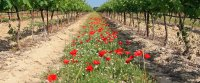 Sciences et pratiques de la viticulture et vinifications biologiques
