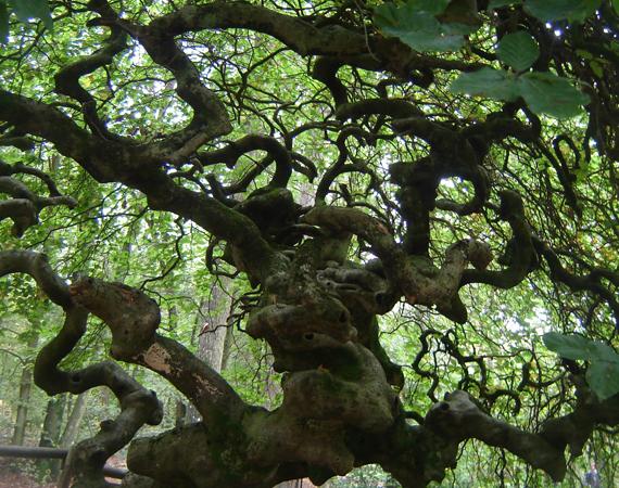 Un arbre tortueux de la forêt de Verzy. cr : visiter la champagne.