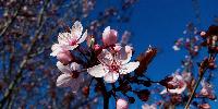Amandiers en fleurs. Dans la Drôme, les vignerons voient fleurir les amandiers.