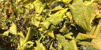 Symptômes de flavescence dorée sur cépage blanc