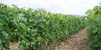 L'IFV reprend le domaine expérimental de l'Inra à Montreuil-Bellay, dont les parcelles d'essai de vignes résistantes.