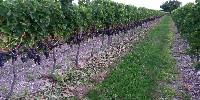 Issu d'un vignoble toujours plus spécialisé, les vins charentais sont marqués par une dominance de merlot et de cabernet, suivis par le chardonnay et le colombard.