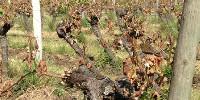 Au printemps, «si la gelée est intense, il peut y avoir destruction totale de la végétation» rapporte l'IFV. Mais «ces gelées n'entraînent jamais la mort de la vigne».