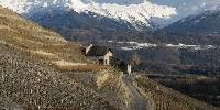 Le vignoble de Chignin, en Savoie, présente un foyer important de flavescence dorée