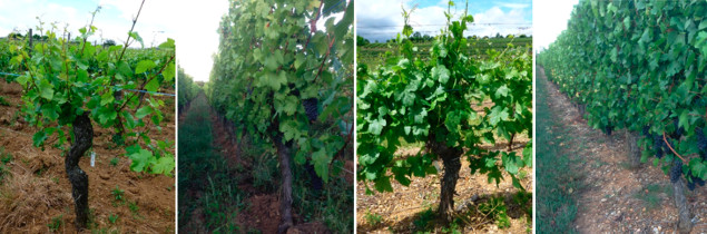 Biodynamic vines have more yellow foliage (left) than conventional vines (right), according to Alsace researchers.