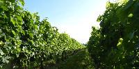 BASF et Cepovett lancent un EPI vestimentaire dédié aux travailleurs qui opèrent dans les vignes après le délai de rentrée