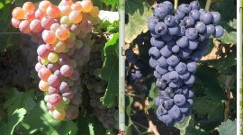 The Côtes-de-Provence appellation area wants to introduce new drought-resistant grape varieties into the appellation specifications for experimental purposes. Here, Moschofilero for rosé, Calabrese for reds and white Verdejo.