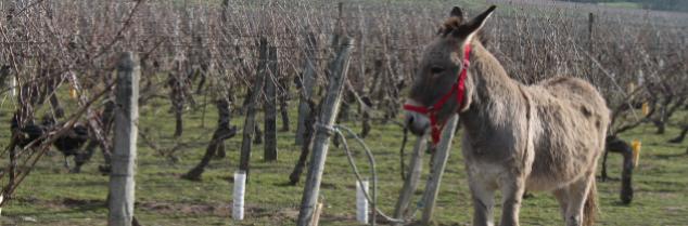 Autour du vin -Culture et vin- : Hommage à l'âne de Saint-Martin, premier tailleur de la vigne