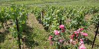 19% des surfaces du vignoble champenois seraient conduites sans herbicides à ce jour, selon les données du CIVC