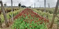 Parmi les semis testés, le trèfle incarnat a paré des couleurs les plus rougeoyantes la parcelle expérimentale.