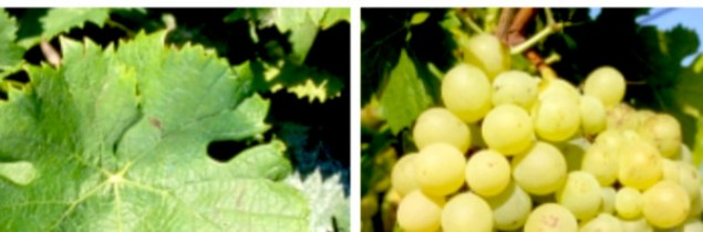 The top 50 most planted grape varieties in france vitisphere - Romanian table grape cultivars ...