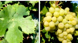A Hérault grape variety intended for producing table grapes, Gros Vert was approved in France in 2007 (for the 1099 clone only).