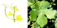 Cépage héraultais destiné à la production de raisins de table, le Gros Vert est agréé en France depuis 2007 (pour le seul clone 1099).
