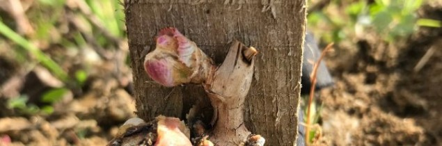 Bud burst is occurring in vineyards all over France.