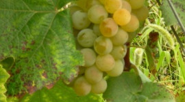 """Using modern winemaking techniques, these disease-resistant grape varieties produce distinctive wines showing typicity and unique character. They are also interesting in blends"", said Christian Vigne, chairman of the PGI Cevennes producers' organisation."