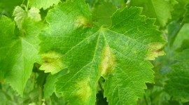 On March 12, Thierry Lacombe presented preliminary results on the characterisation of grape variety tolerance to mildew