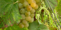 """""""Using modern winemaking techniques, these disease-resistant grape varieties produce distinctive wines showing typicity and unique character. They are also interesting in blends"""", said Christian Vigne, chairman of the PGI Cevennes producers' organisation."""