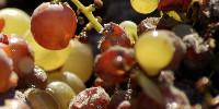 Issus de raisins botrytisés, les vins de Loupiac ne peuvent être chaptalisés s'ils dépassent un titre alcoométrique de 15°.