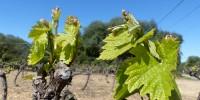 Dans certains secteur très  précoces, comme ici sur cette parcelle à Pignan dans l'Hérault, ce mardi 26 mars, les grappes commencent à être visibles. Un cas très exceptionnel. Dans la majeure partie du vignoble, le débourrement démarre.