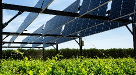 Solar panels installed in vineyards seem to have an impact on the vine's resistance to water stress.