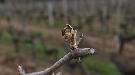 Frost has wrought damage on vines in the Rhone Valley, Provence and Gard for the first time this year.