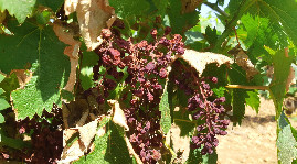 Vine scorching as seen in Languedoc in 2019.