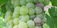 Le boscalid, un fongicide de la famille des SDHi est utilisé en vigne pour lutter notamment contre le Botrytis