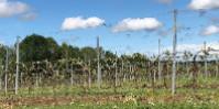 «L'orage a ratiboisé mes vignes. Hier il y avait des rameaux verts de 20cm…» témoigne Jean-Christophe Baraud.