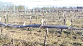 "In the Loire Valley, Célia Brégeon from the Pays de Loire Chamber of Agriculture announced the vines were two to three weeks early, ""which needs to be put into perspective because the cold weather forecast for the beginning of April will once again slow down growth""."
