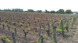 Vignoble gelé en bordelais.