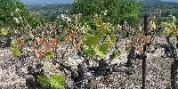 Des vignes abîmées par le gel en appellation Ventoux, suite au gels du 20 et 21 avril 2017