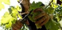 Aucun texte réglementaire ne permet, à ce jour, d'encadrer l'achat de vendange par les vignerons sans changer de statut.